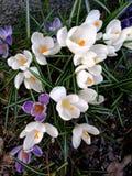 Floraison crocus violets et blancs Images libres de droits