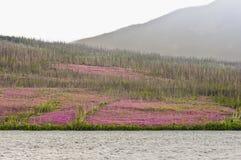 Floraison d'épilobe Photo libre de droits