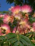 Floraison d'acacia Photographie stock libre de droits