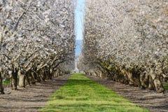 Floraison d'amande photo libre de droits