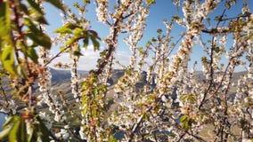 Floraison d'arbre d'amande banque de vidéos
