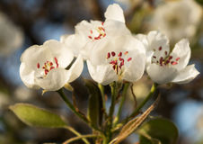 Floraison d'arbre de ressort Photographie stock libre de droits