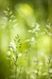 Floraison d'herbe verte de juin Photographie stock