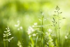 Floraison d'herbe verte de juin Image libre de droits