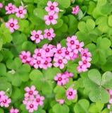 Floraison d'Oxalis Photos libres de droits
