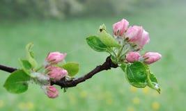 Floraison d'un pommier image stock