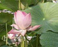 Floraison dans l'étang Lotus Photos libres de droits