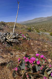 Floraison dans le désert de Borrego d'anza Photos libres de droits