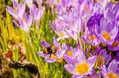 floraison dans le jardin les crocus pourpre de fleur de ressort Photo libre de droits