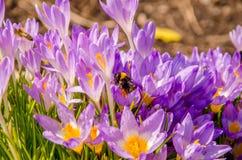 floraison dans le jardin les crocus pourpre de fleur de ressort Image libre de droits