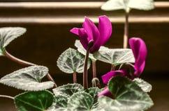 Floraison dans le petit cyclamen pourpre d'hiver Photos libres de droits
