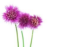 floraison de 2 ciboulette Photographie stock