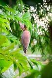 Floraison de banane image libre de droits