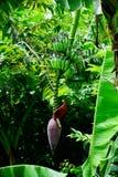 Floraison de banane photographie stock