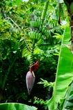 Floraison de banane images stock