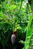 Floraison de banane photo libre de droits