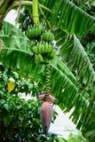 Floraison de banane images libres de droits