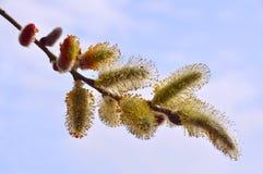 Floraison de bourgeons de saule Photos stock