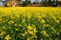 Floraison de centrale de moutarde image libre de droits