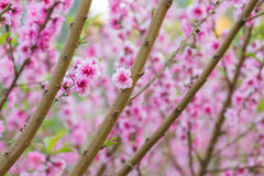 Floraison de cerise Photographie stock