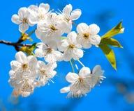Floraison de cerisier Image libre de droits