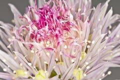 Floraison de ciboulette Images stock