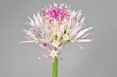 Floraison de ciboulette Image libre de droits