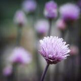 Floraison de ciboulette Photo stock