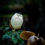 Floraison de fleur d'arbre de magnolia Photo libre de droits