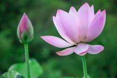 Floraison de fleur de Lotus Images stock