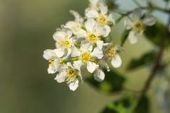 Floraison de fleur de poire Images stock