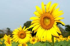 Floraison de fleur de Sun Images libres de droits
