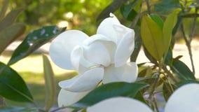 Floraison de fleur de magnolia banque de vidéos
