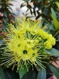 Floraison de fleur de Xanthostemon Photos stock