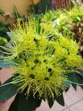 Floraison de fleur de Xanthostemon Image stock