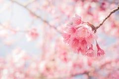 Floraison de fleurs de cerisier de ressort pleine avec des rayons du soleil Images stock