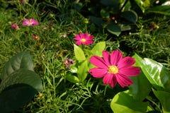 Floraison de fleurs de cosmos Image stock