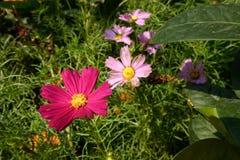 Floraison de fleurs de cosmos Images stock