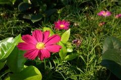 Floraison de fleurs de cosmos Photographie stock libre de droits
