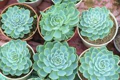 Floraison de fleurs d'azalée Image stock