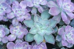 Floraison de fleurs d'azalée Photos libres de droits
