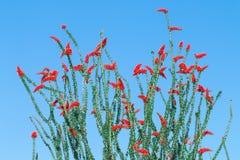 Floraison de fleurs d'Ocotillo images stock