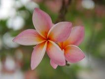 Floraison de fleurs de Frangipani Frangipani rose, Plumeria, arbre de temple, arbre de cimetière Photographie stock libre de droits