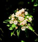 Floraison de fleurs de laurier de montagne Photos libres de droits