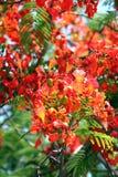 Floraison de fleurs de paon. Images libres de droits