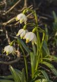 Floraison de fleurs de perce-neige Photos libres de droits