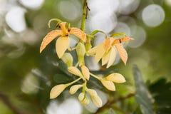 Floraison de fleurs de tamarinier Photographie stock