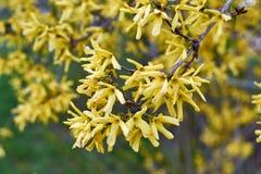 Floraison de forsythia Photographie stock