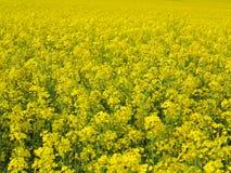 Floraison de graine de colza Image libre de droits