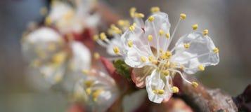 Floraison de l'abricot Image stock
